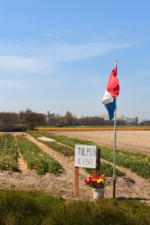 Tulips for sale in Dutch village Lisse photo