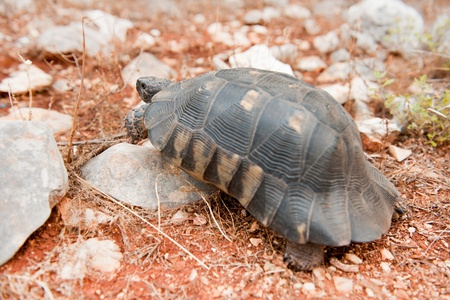 stoney: Wild Greek tortoise in free stoney nature Stock Photo