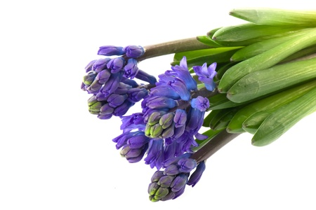 hyacinths: Bouquet of purple Hyacinths isolated over white