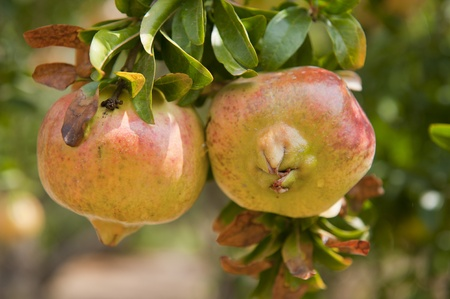 Orchard in Greece with trees and Pomegranate photo