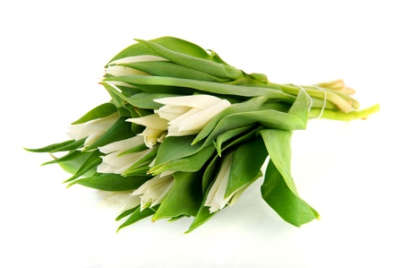 White tulips in spring isolated over white photo