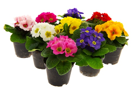 primulas: Many colorful Primulas for the garden isolated over white background