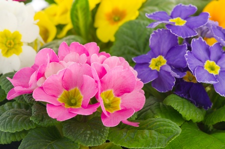 Many colorful Primulas for the garden isolated over white background Stock Photo - 8792888