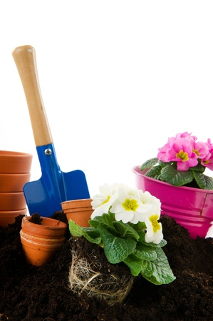 Many colorful Primulas with garden tools isolated over white background photo