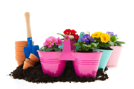 Gardening with sand shovel Primroses and flower pots photo