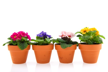 primroses: Colorful Primroses in earthenware flower pots isolated over white