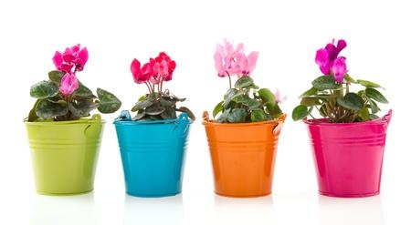 hilera: Coloridas Gerber plantas en macetas de fila aislados en blanco Foto de archivo