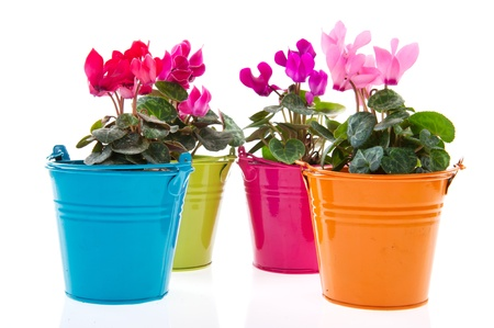 Colorful Gerber plants in row pots isolated over white photo