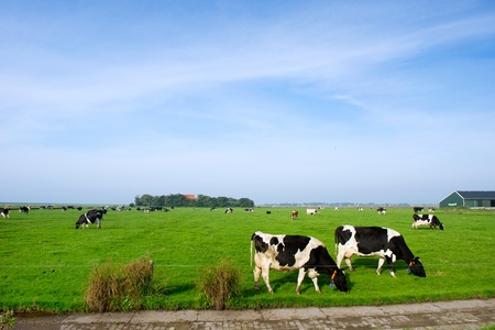 dutch: Typical dutch landscape with cows in the flat pastures