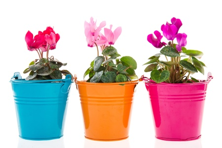 flower pot: Colorful Gerber plants in row pots isolated over white