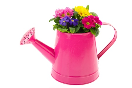 primroses: Pink metal watering can with colorful Primroses isolated over white Stock Photo