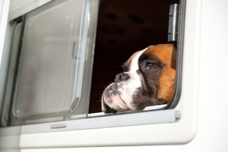 Pure breed Bull dog is thinking while looking out of the car window Stock Photo - 8991587