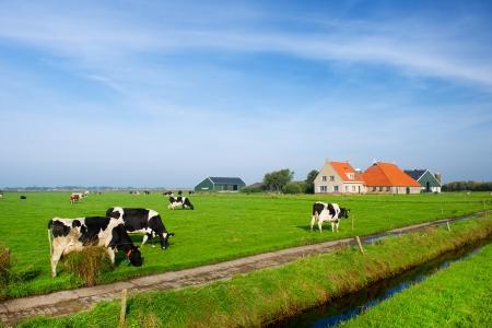 wadden: Typical dutch landscape with cows farmland and a farm house