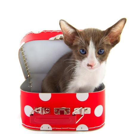 blue siamese cat: Open red dotted suitcase with cute little cat