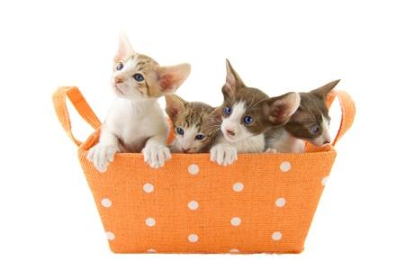 gato jugando: Poco gatos gatito en cesta naranja en fondo blanco