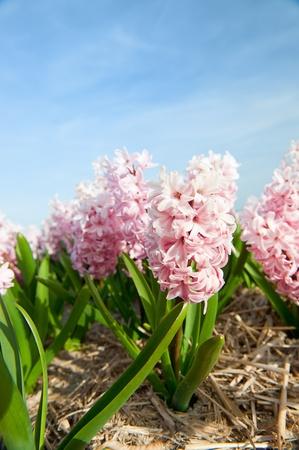 bloembollenvelden: Pink Hyacinths in the flower bulb fields in Holland Stockfoto