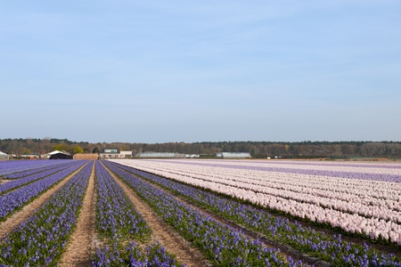 bloembollenvelden: Purple and pink Hyacinths in the colorful flower bulb fields in Holland