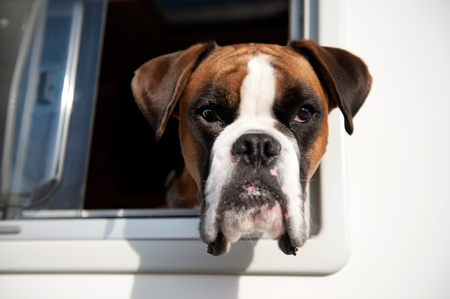Pure breed Bull dog is looking out of the car window Stock Photo