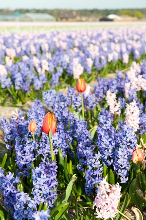 exception: Purple fields flowers with one red exception