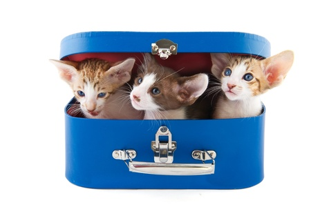 Blue suitcase with little kitten cats on white background