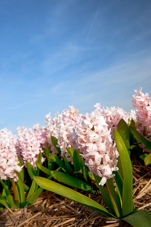 bloembollenvelden: Pink Hyacinths in the flower bulb fields Stockfoto