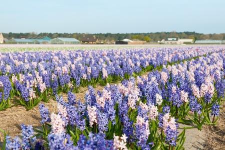 bloembollenvelden: Purple and pink Hyacinths in the flower bulb fields  Stockfoto