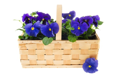 Basket full with Pansy blue flower plants photo