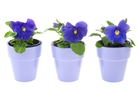 Blue Pansy plants in flower pots on white background Stock Photo - 9235049