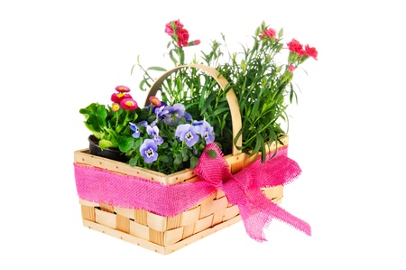 dianthus: Wicker basket with blue Pansy flowers Bellis and Dianthus