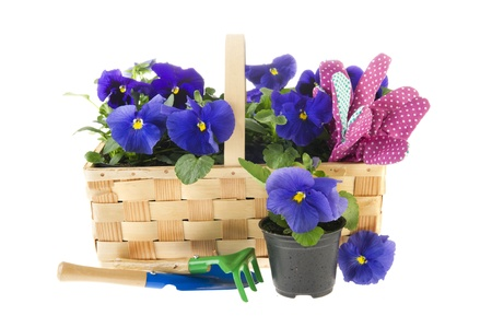 Blue Pansy flowers in basket with gardening tools photo