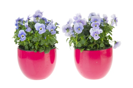Blue violets in pink flower pots isolated over white Stock Photo - 9357305
