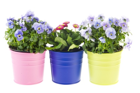 violets: Colorful garden plants in flower pots on white background