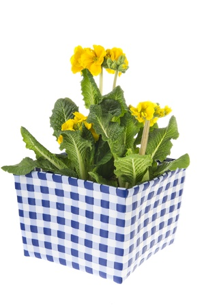 Yellow Primroses in checkered square flower pot photo