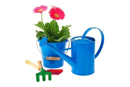 Plant pink Gerber in blue bucket isolated over white background photo
