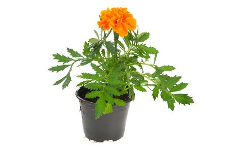 ringelblumen: Orange ringelblume Pflanzen in schwarz Topf isolated over white background