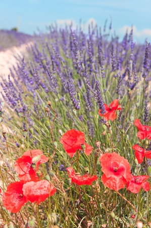 Lavender fields with red poppies in French landscape photo
