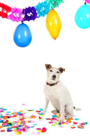 blowed: Little Jack Russel is having a colorful birthday