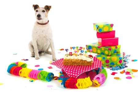 Little Jack Russel is having a colorful birthday Stock Photo - 9767715