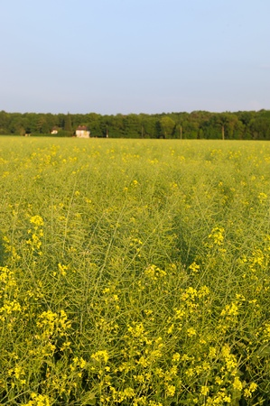 Yellow rape seed in the vertical landscape photo