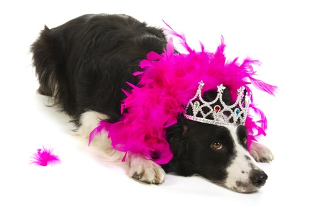 Border collie as dog princess in pink with crown photo