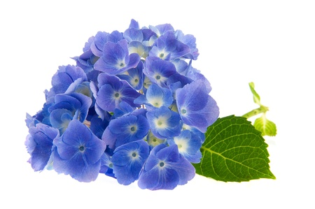 Blue Hydrangea flowers isolated over white background photo