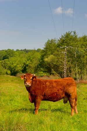 Brown Limousin cow as typical breed in France photo