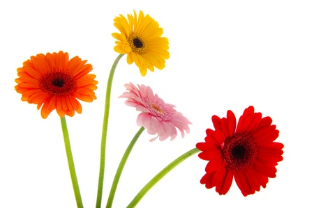 Four Gerber flowers in various colors isolated over white background Stock Photo