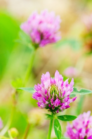 trifolium: Purple Clover flower in nature environment outdoor
