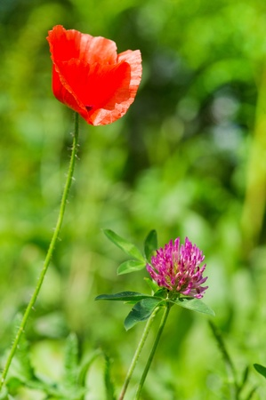 Purple Clover flower and red Poppie in nature environment outdoor Stock Photo - 10439773