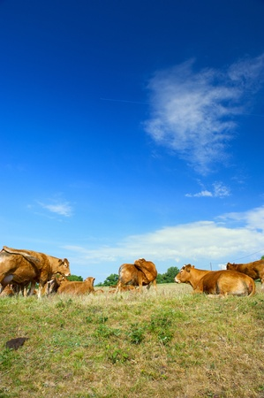 Typical French brown Limousin cows in France photo
