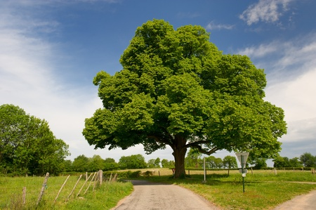 county side: Big beautiful chestnut tree in agriculture landscape