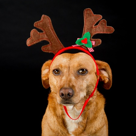 christmas cross: Happy cross breed Christmas dog on black background Stock Photo