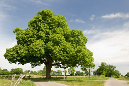 chestnut tree: Big beautiful chestnut tree in agriculture landscape