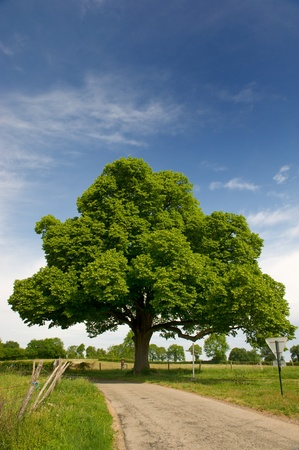 french way: Big beautiful chestnut tree in agriculture landscape